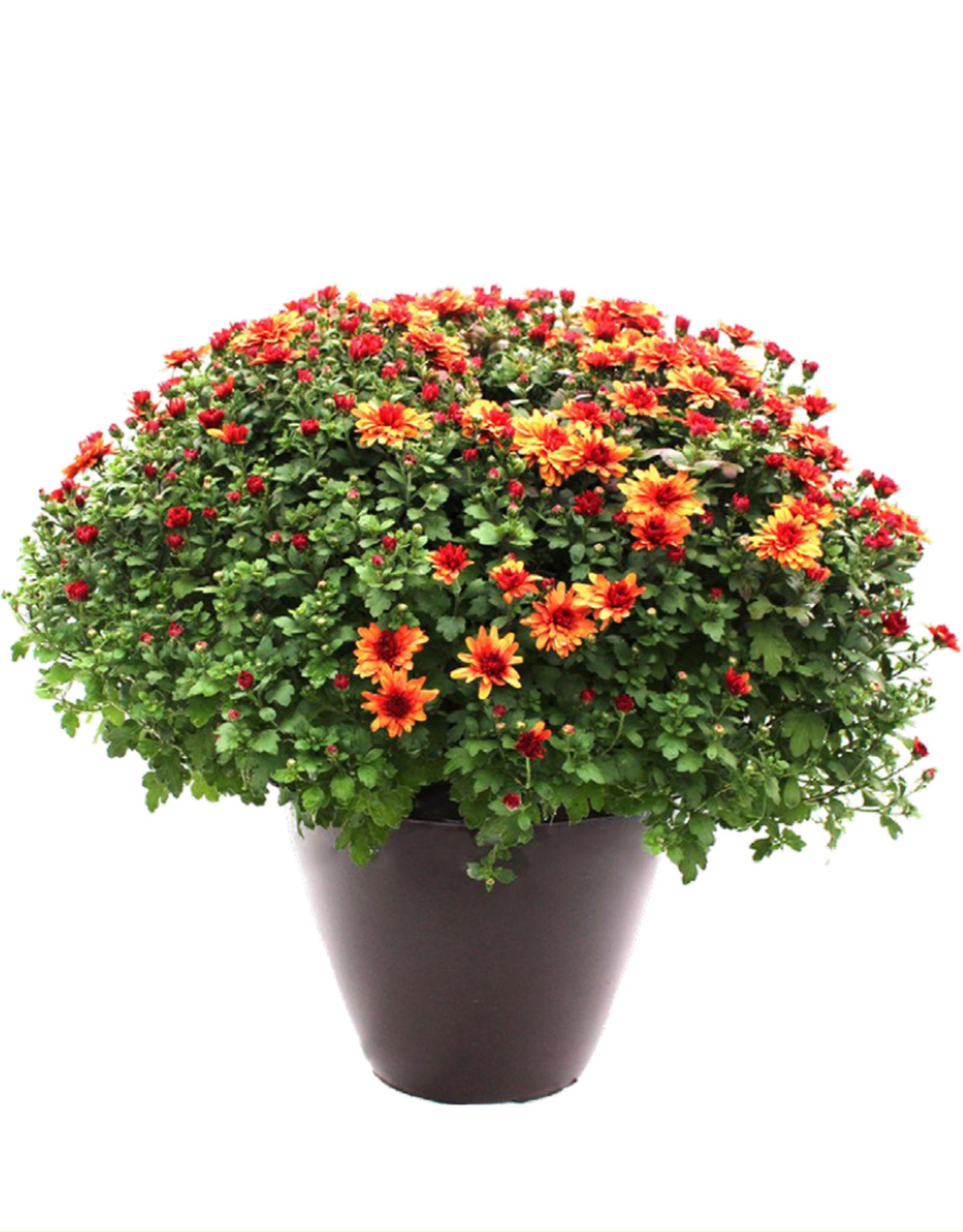 """12"""" Fall Annual Patio Pot Mum"""