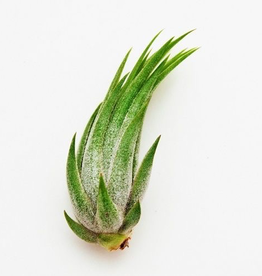 Ionantha Scapose Air Plant