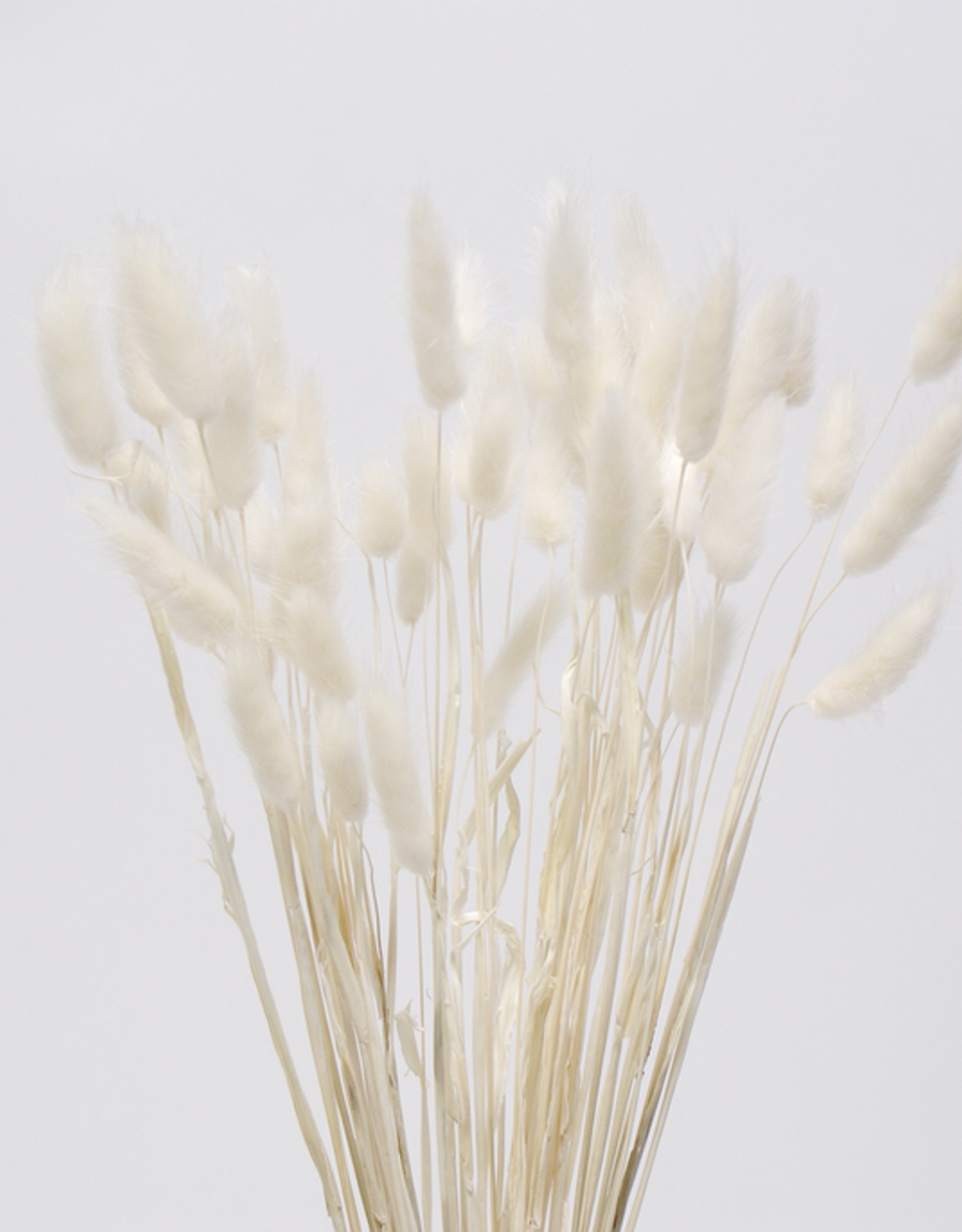 """16"""" White Bunny Tail Stems - 50 pack"""
