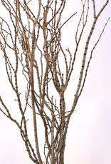 Natural Tigerwood Braches, 4-8 Stems / Pkg,