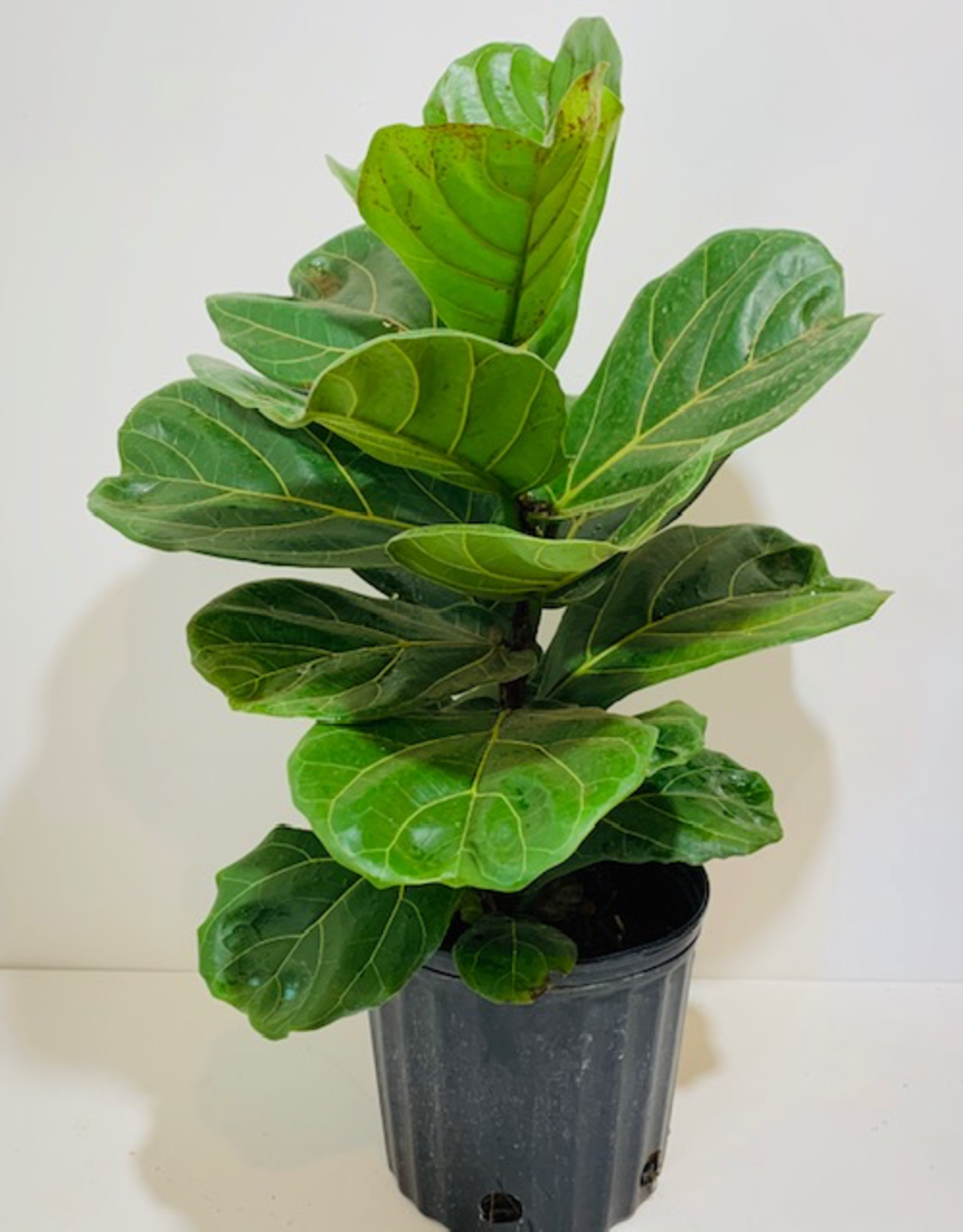 Ficus, Lyrata, Fiddleleaf Fig Bush, 10""