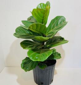 """Ficus, Lyrata, Fiddleleaf Fig Bush, 10"""""""