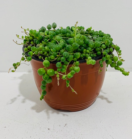 """String of Pearls Succulent 6"""""""