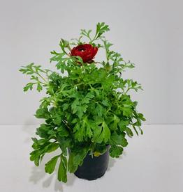 "Ranunculus 4"" - Mixed Colours"