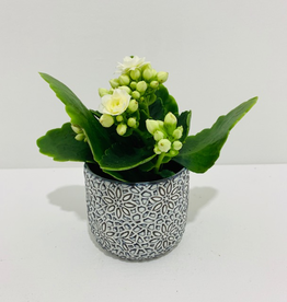 "2.5"" Kalanchoe in Mini Patterned Ceramic Pot"