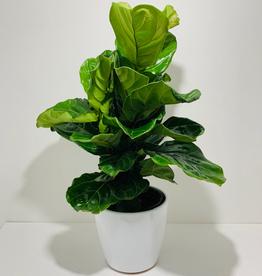 """10"""" Fiddle Leaf Fig in White Ceramic Pot"""