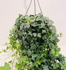 """English Ivy, 10"""" Hanging Basket"""