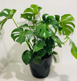 "10"" Philodendron Monstera in Black Ceramic Pot"