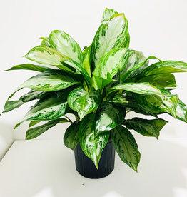 """Aglaonema Chinese Evergreen 10"""""""