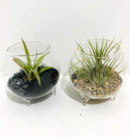 Air Plant Arrangement in Mini Footed Glass Vessel.