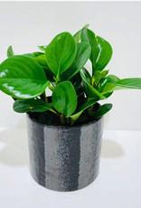 "5"" Green Peperomia in Black Ceramic Pot"