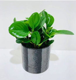 "5"" Green Peperomia in Black Ceramic Pot"