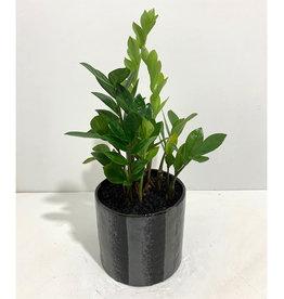 """6"""" ZZ Plant in Black Ceramic Pot"""