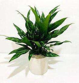 "6"" Green Aglaonema in White Ceramic Pot"