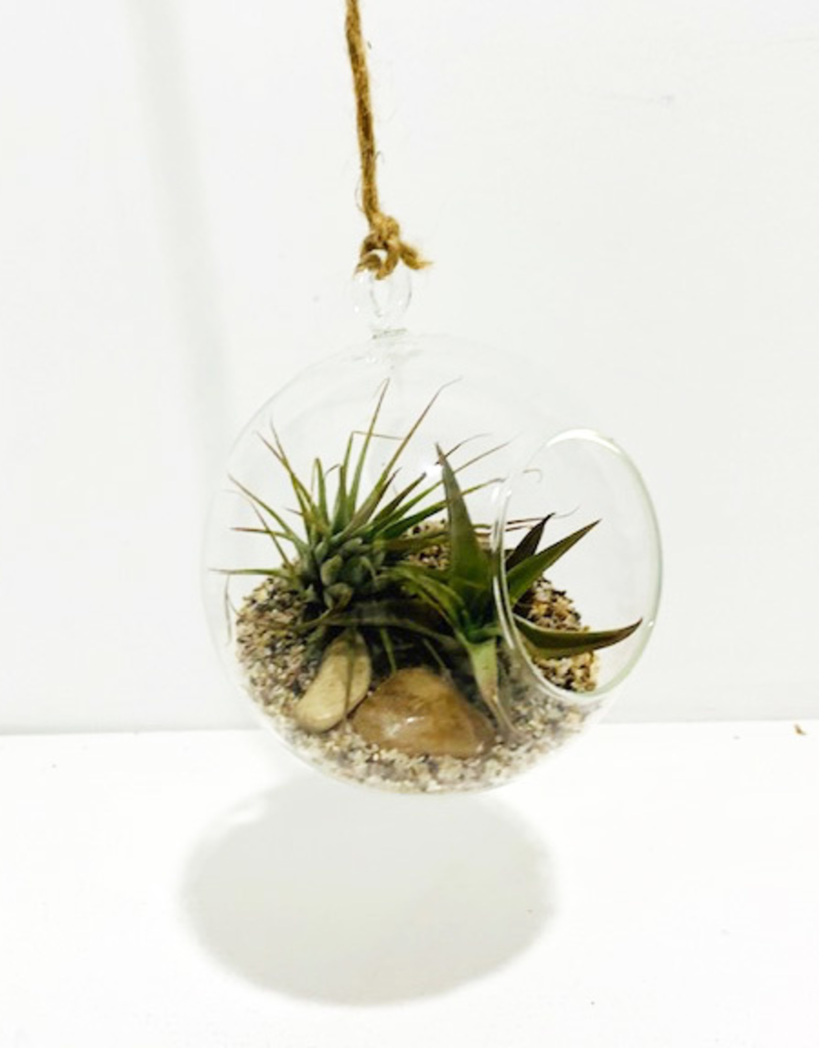 """Air Plant Arrangement in 4"""" Hanging Glass Orb"""