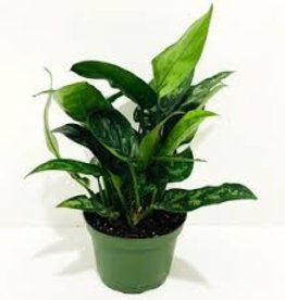 Green Leaf Aglaonema 6""