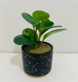 "3"" Peperomia in Navy Celestial Container"