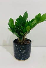 """5"""" ZZ Plant in Navy & Gold Celestial Container"""