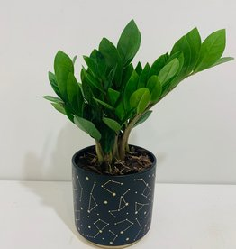 "5"" ZZ Plant in Navy & Gold Celestial Container"