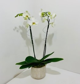 Double Stem White Orchid in Off-White Ceramic Pot