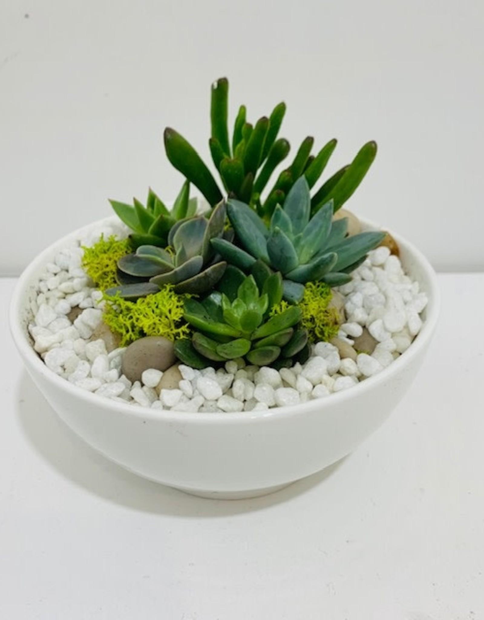 """Succulent Arrangement in 5"""" White Ceramic Bowl"""