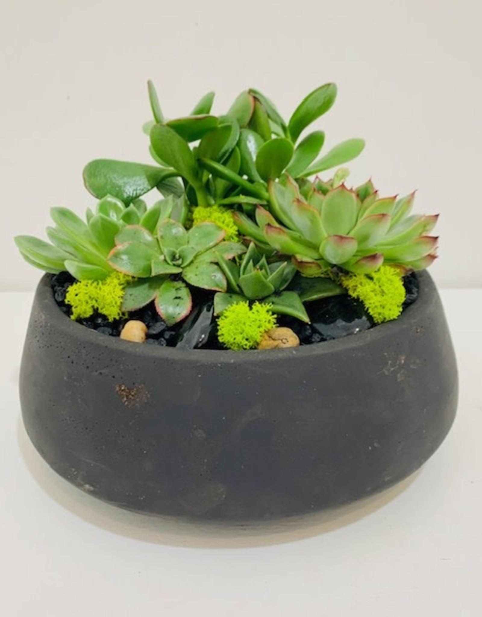 """Succulent Arrangement in 7"""" Black Cement Bowl"""