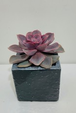"4"" Succulent in Square Black Ceramic Container"