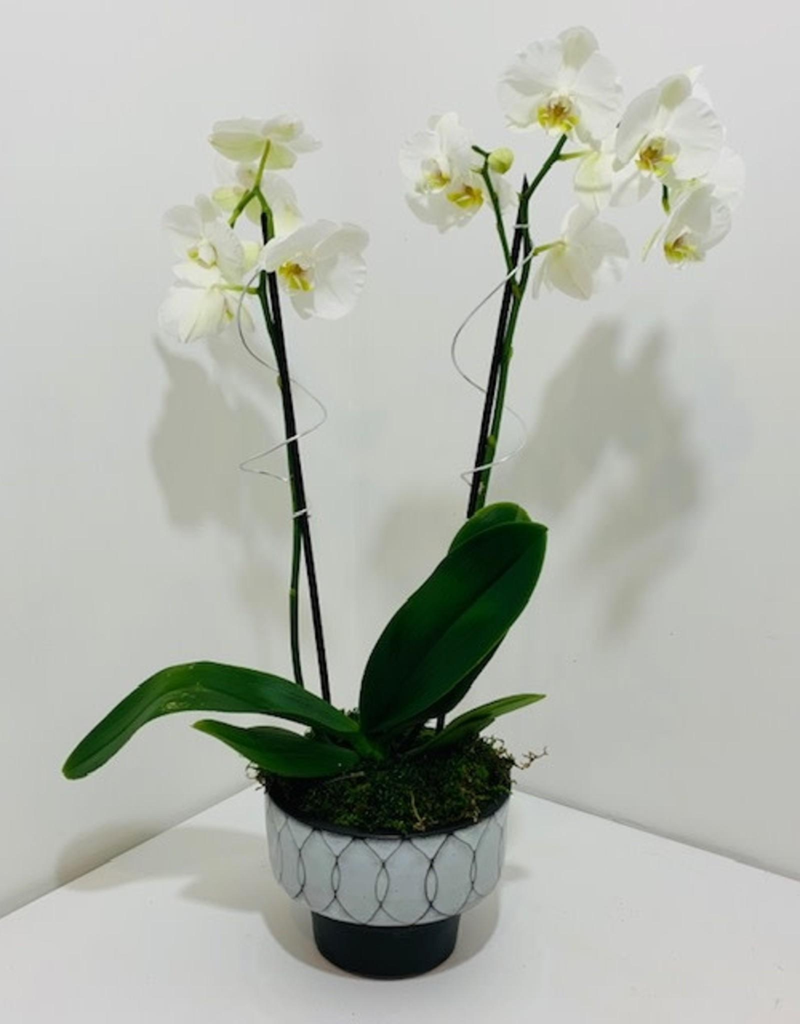 Double Stem White Orchid in Black & White Ceramic Pot
