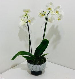 Double Stem White Orchid in Black & White Ceramic Pot