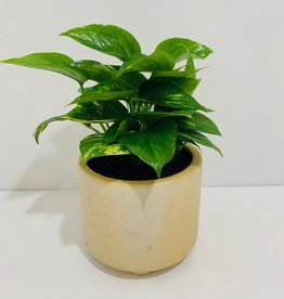 "6"" Pothos in Beige Footed Pot"