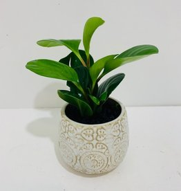 """3"""" Peperomia in Francis Pot"""