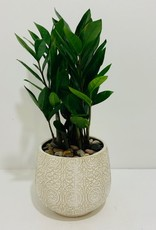 "6"" ZZ Plant in Off White Patterned Pot"