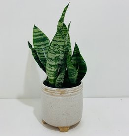 "4"" Sansevieria in Footed Off White Pot"