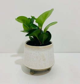 "4"" Peperomia in Footed Off White Pot"