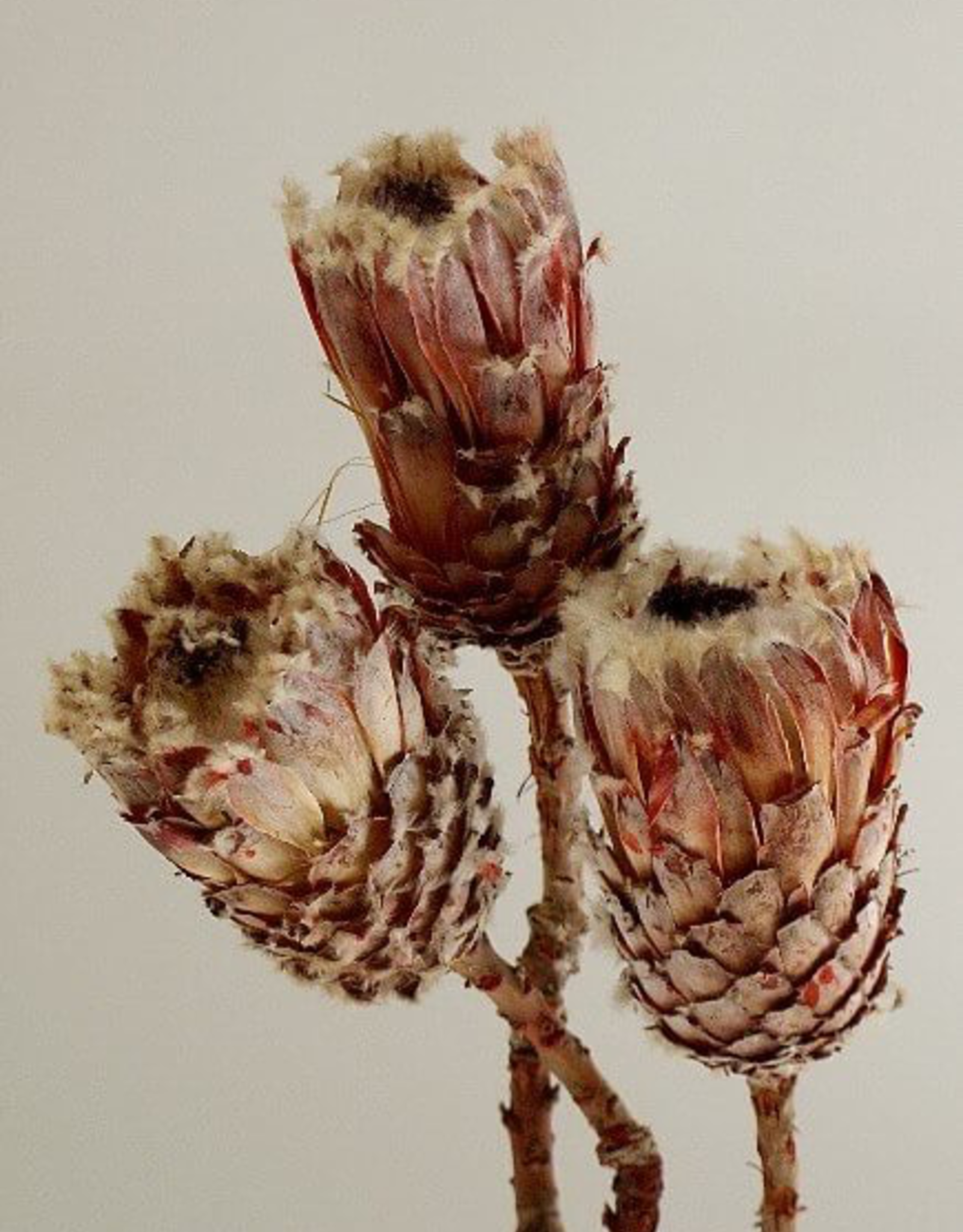 """4"""" Natural Protea 3 Stems / Bunch"""
