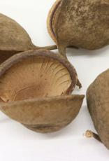 Dried Buddha Nut Pod