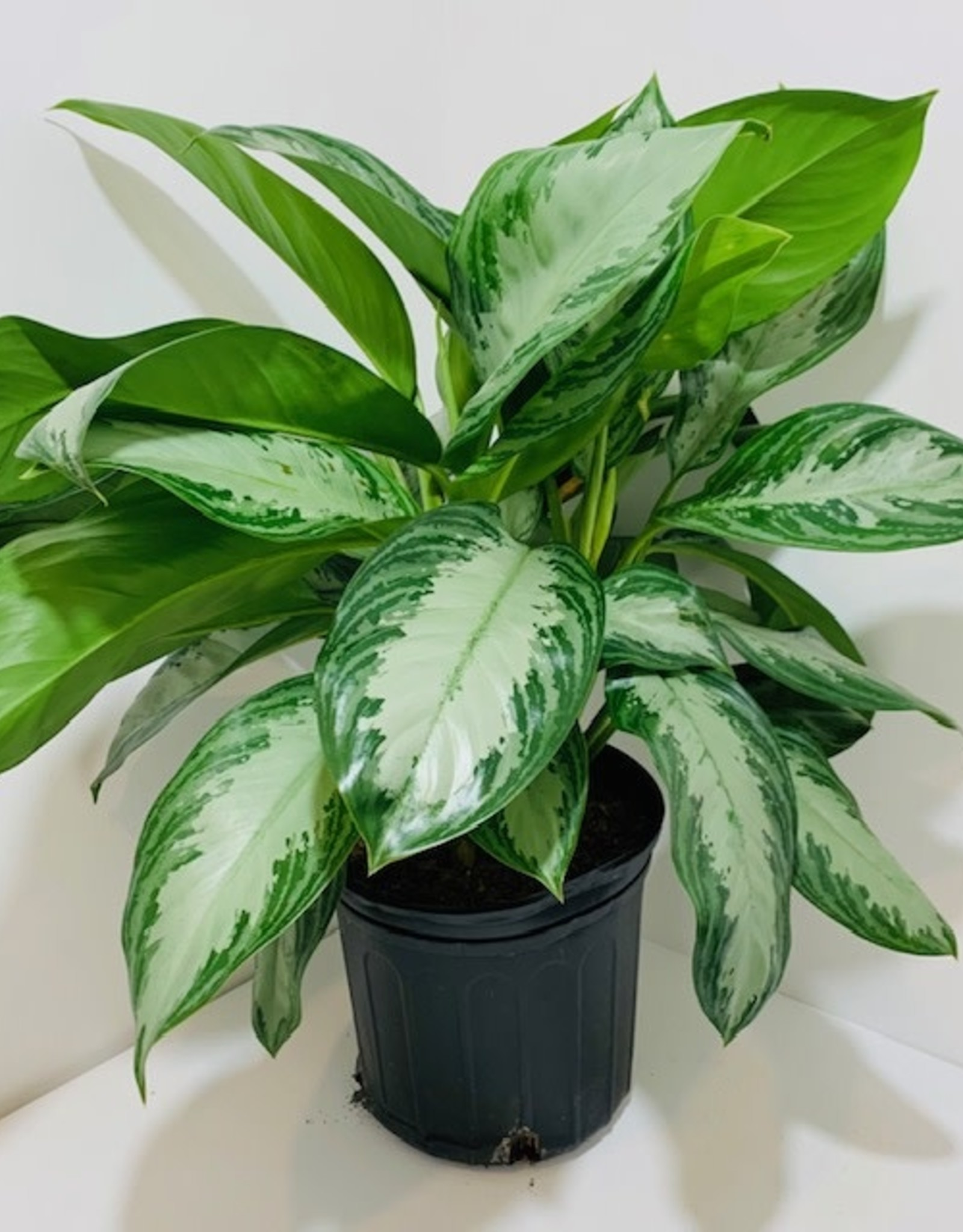 "10"" Aglaonema Chinese Evergreen"
