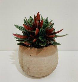 """5"""" Rosso Peperomia in Terra Cotta Pot"""