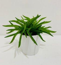 """3"""" Happy Bean Peperomia in White Pot"""
