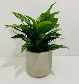 "6"" Green Aglaonema in Grey Cement Pot"