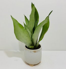 "5"" Moonshine Snake Plant in Footed Ceramic Container"