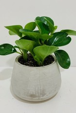 "5"" Green Leaf Peperomia in Cement Container"