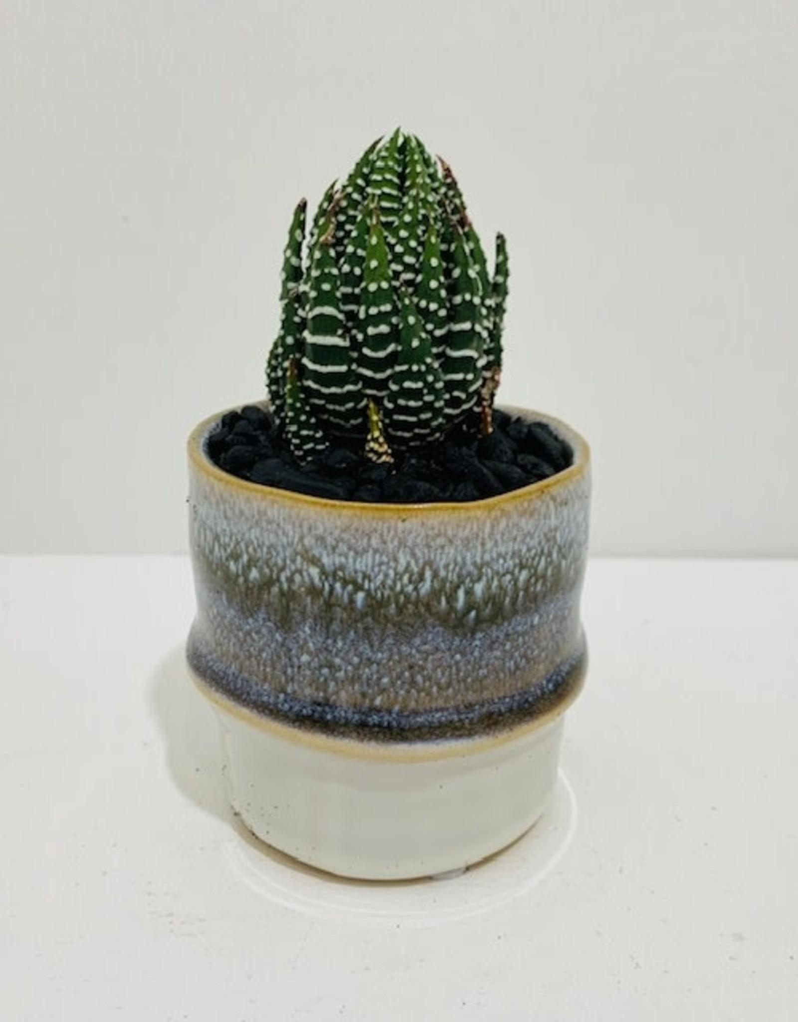 """2"""" Haworthia Coarctata in Ceramic Container"""