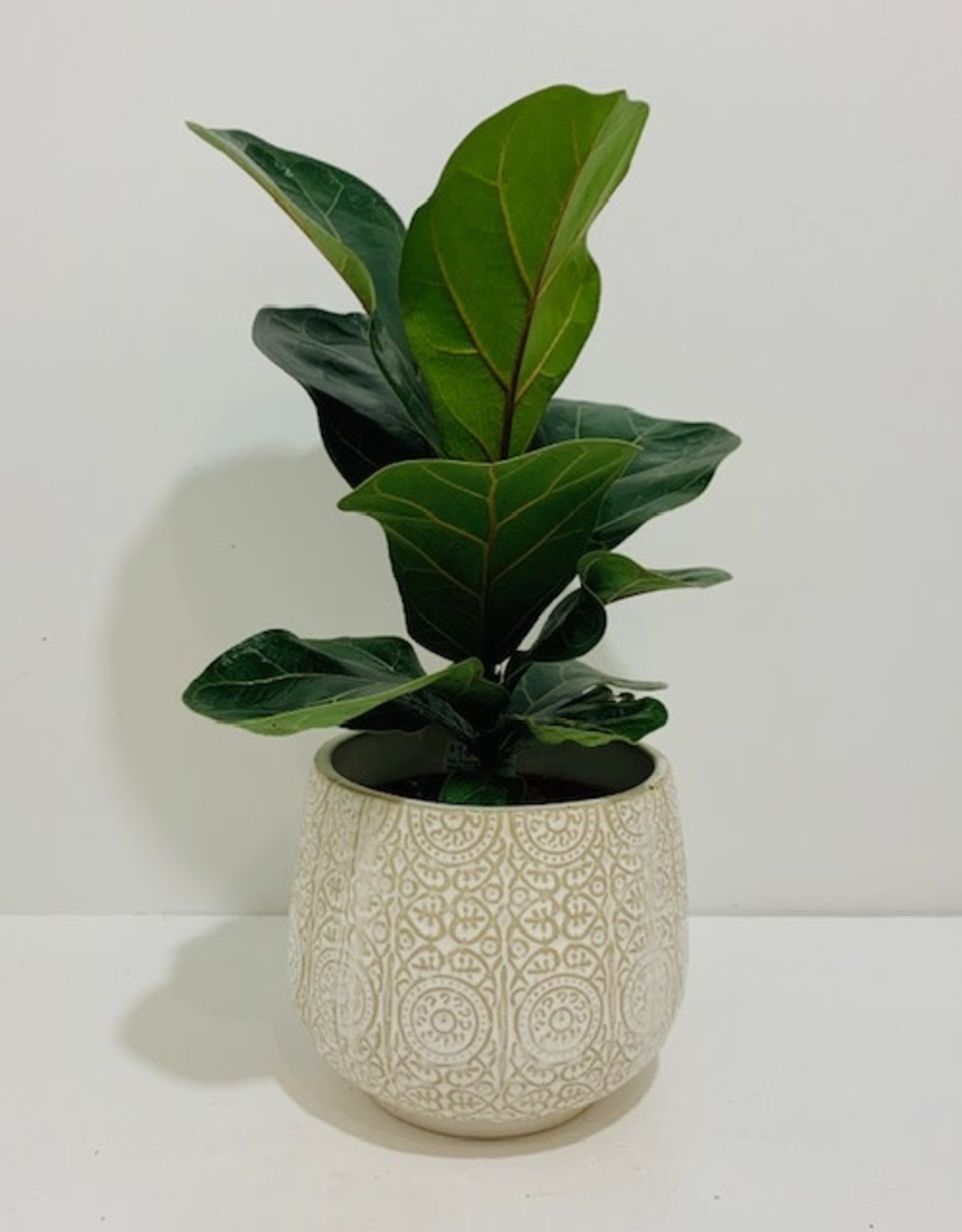 """5"""" Fiddle Leaf Fig in Off White Ceramic Container"""