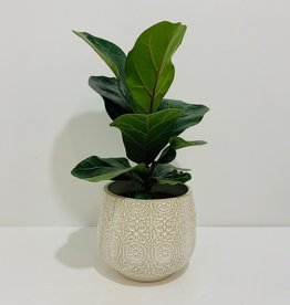 "5"" Fiddle Leaf Fig in Off White Ceramic Container"