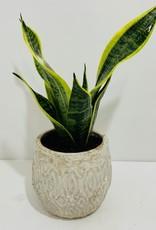 "6"" Birdsnest Snake Plant in Off White Ceramic Container"
