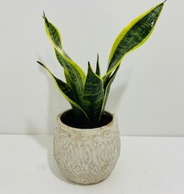 "6"" Birdsnest Snake Plant in Off White Ceramic Container"
