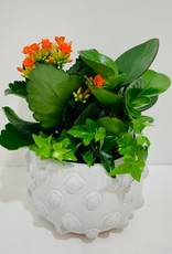"6"" Flowering Plant Arrangement in White Ceramic Container"