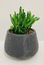 """5"""" Horntree Jade in Black Cement Container"""