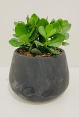 "5"" Ovata Jade in Black Cement Container"
